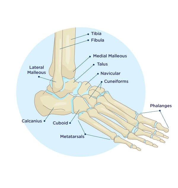 Foot and Ankle Anatomy Diagram
