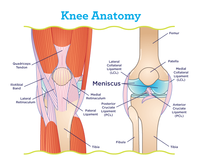 Meniscus Location Within the Knee